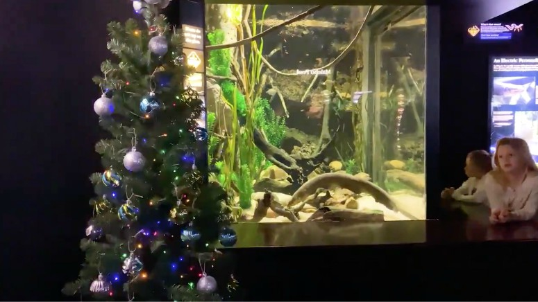 An Electric Eel Is Powering Lights On A Christmas Tree At The Tennessee Aquarium Boston News Weather Sports Whdh 7news