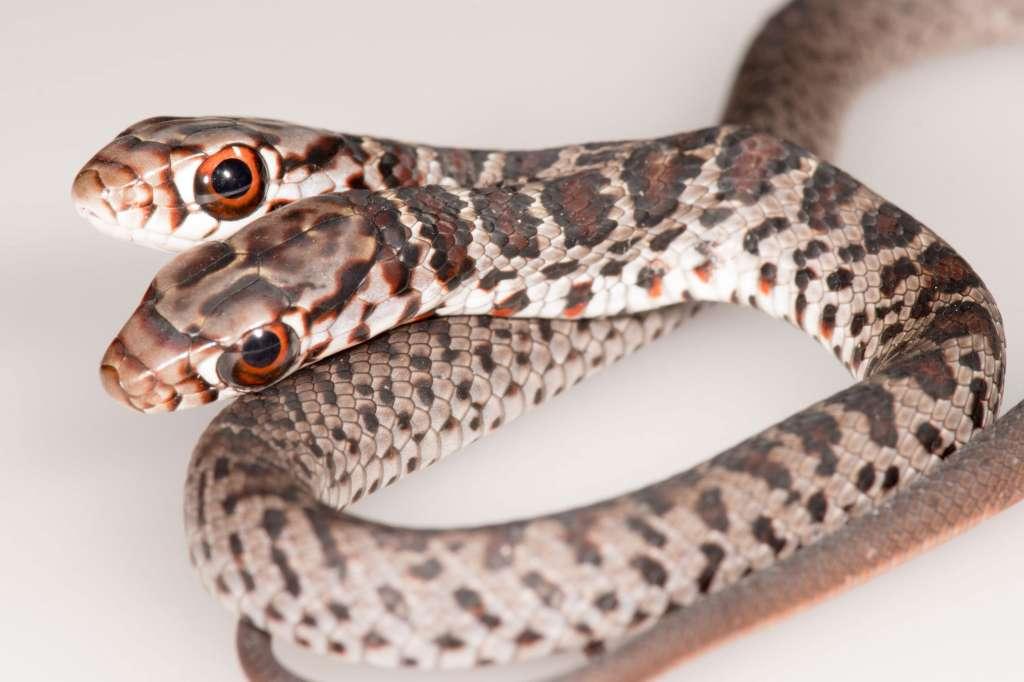 snake 2 heads