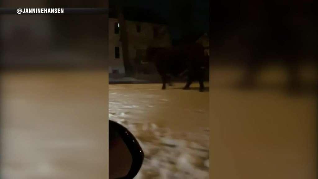 Cow that got loose on way to slaughterhouse seen roaming around RI neighborhood