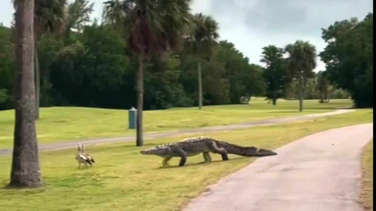 gator on golf course