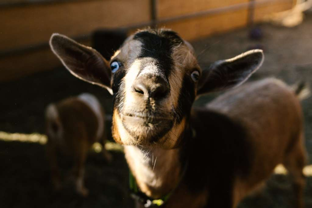 shallow focus photo of a goat s face