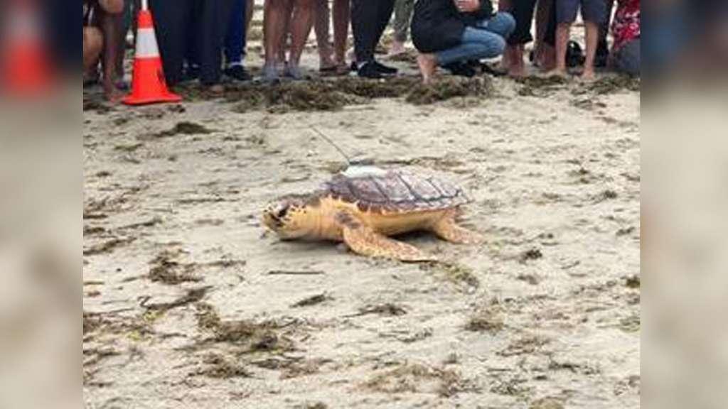 New England Aquarium releases four rehabilitated sea turtles into Cape Cod waters