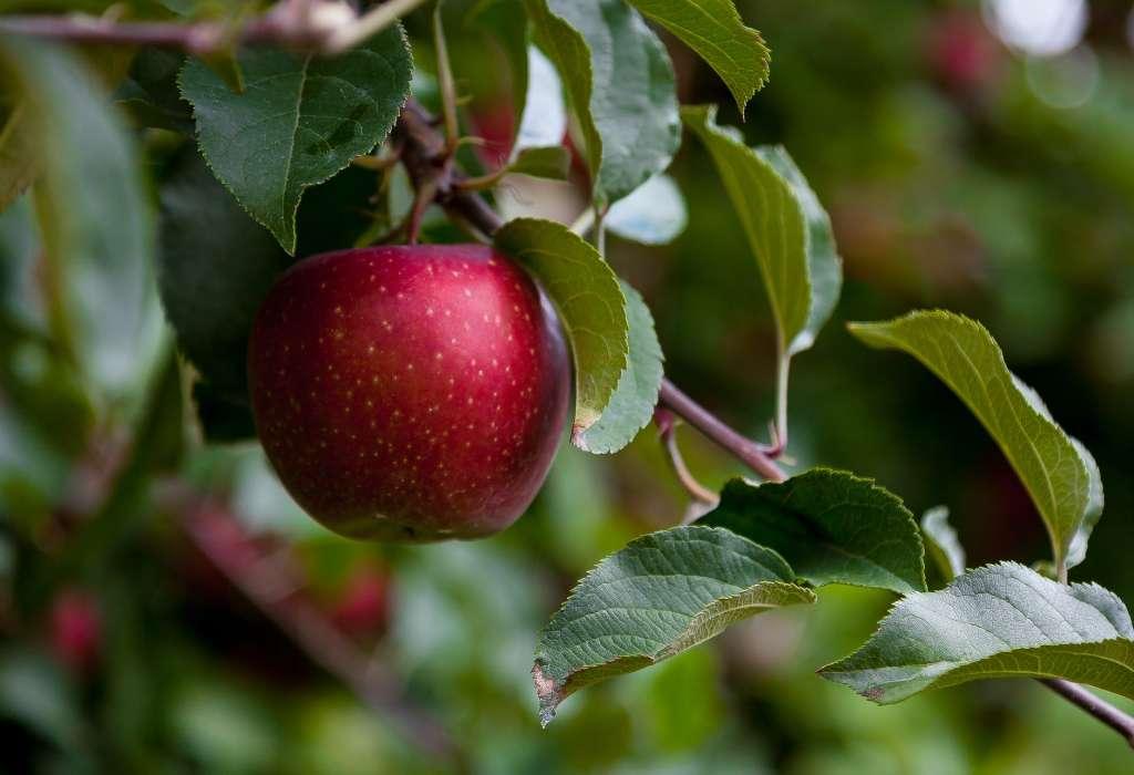 food apple summer garden